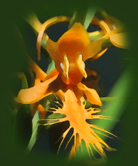 Orange Fringed Orchid, Yellow Fringed Orchid (Platanthera ciliaris)