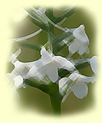 Snowy Orchid, Bog Torch (Platanthera nivea)