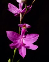 Calopogon tuberosus (Grass Pink Orchid) in flower.