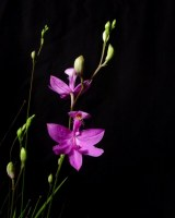 Calopogon tuberosus (Grass Pink Orchid) - Entire Spike