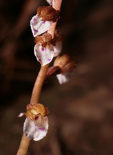 Spring Coralroot (Corallorhiza wisteriana) - flowering closeup
