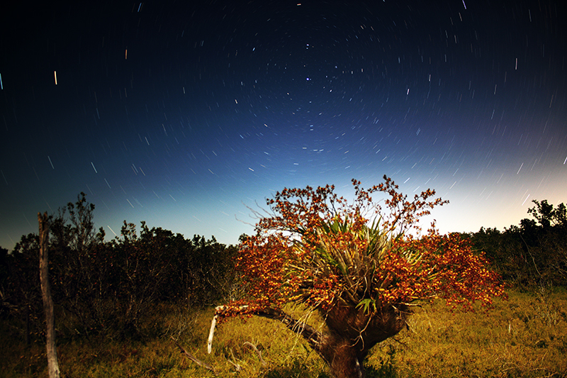 Cigar Orchid (Cyrtopodium punctatum) At Night with Star Trails