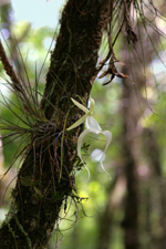 Ghost Orchid (Dendrophylax lindenii), June 2008.