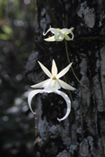 Ghost Orchid (Dendrophylax lindenii) in Flower