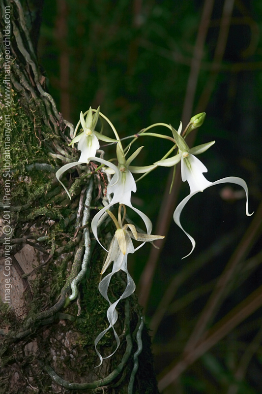 Ghost Orchid (Dendrophylax lindenii) - multi-flowered plant.