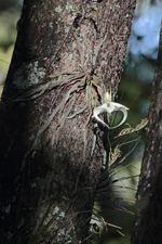 Ghost Orchid (Dendrophylax lindenii) - Plant in flower.