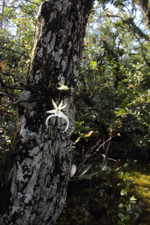 Ghost Orchid (Dendrophylax lindenii) - Flowering Plant