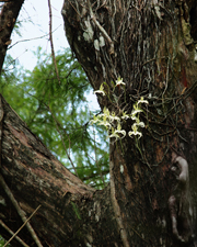 Ghost Orchid (Dendrophylax lindenii) - The Corkscrew Swamp 'Super Ghost' in 2014