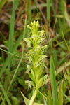Water Spider Orchid (Habenaria repens)