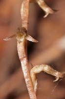 Copper Ladies Tresses (Mesadenus lucayanus)