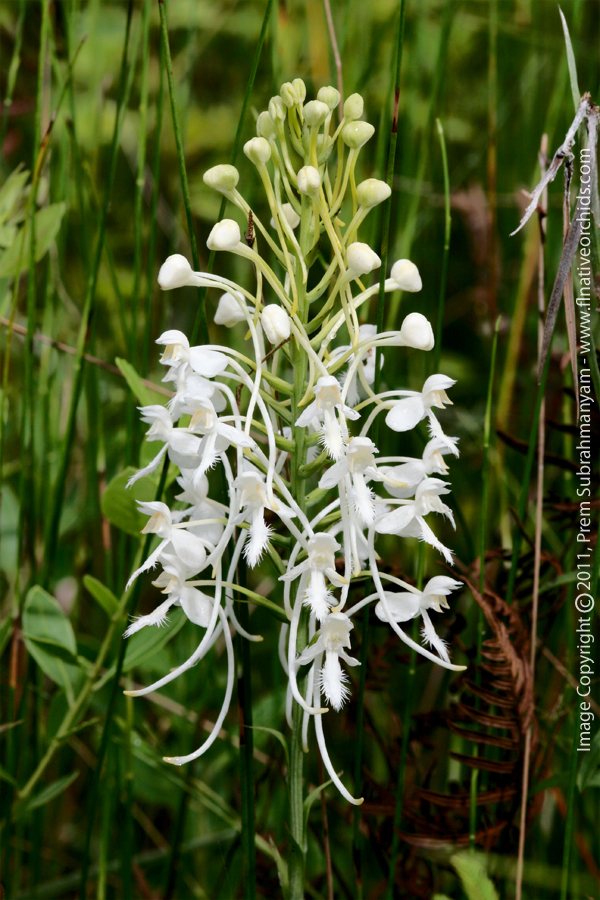 White Fringed Orchid (Platanthera blephariglottis var. conspicua) - closeup