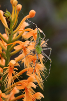 Chapman's Fringed Orchid (Platanthera chapmanii) with Green Lynx Spider