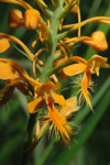 Orange Fringed Orchid (Platanthera ciliaris) - Pair of flowers, close-up.