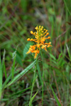 Orange Fringed Orchid (Platanthera ciliaris) - Flowering plant with environment.