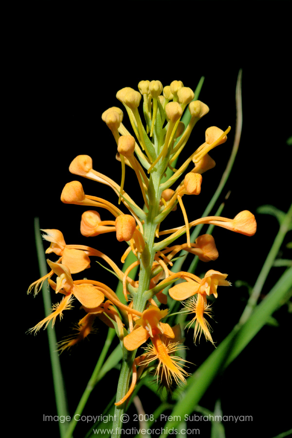 Orange Fringed Orchid (Platanthera ciliaris) - Entire flower spike.