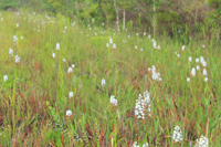 Snowy Orchid (Platanthera nivea) in Situ