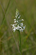 Snowy Orchid (Platanthera nivea) - opening spike