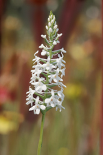 Snowy Orchid (Platanthera nivea) - entire spike.