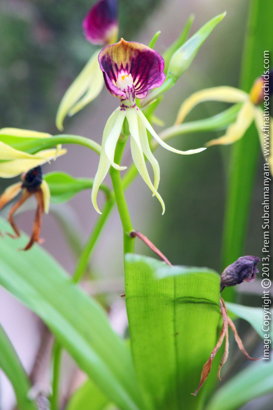 Clamshell Orchid (Prosthechea cochleata) - Flower