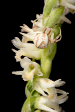 Spring Ladies Tresses (Spiranthes vernalis) - Closeup with 'Guest'