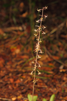 Cranefly Orchid (Tipularia discolor) - spike in situ.