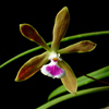 Florida Butterfly Orchid(Encyclia tampensis)