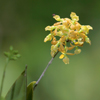 Dingy Flowered Star Orchid(Epidendrum amphistomum)
