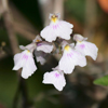 Delicate Ionopsis, Delicate Violet Orchid(Ionopsis utricularoides)